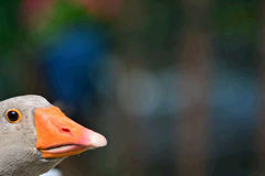 Portrait of a Greylag Goose. Portrait Greylag Goose royalty free stock images