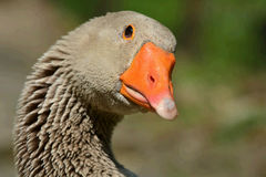 Portrait Of A Greylag Goose. Portrait Of A Goose royalty free stock photo