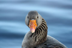 Portrait of a Greylag Goose (Anser Anser, Bird) Royalty Free Stock Photography