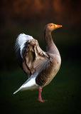 Portrait of Greylag Goose Stock Photo