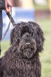 Griffon dog living in belgium. Portrait of griffon dog living in belgium and practicing or competing in the obeying section royalty free stock image