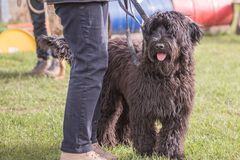 Griffon dog living in belgium. Portrait of griffon dog living in belgium and practicing or competing in the obeying section stock image