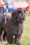Griffon dog living in belgium. Portrait of griffon dog living in belgium and practicing or competing in the obeying section royalty free stock photo