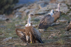 Portrait of griffon scavenger vultures Royalty Free Stock Photos