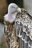 Portrait of griffon vulture Royalty Free Stock Photo