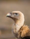 Portrait of a Griffon vulture stock images