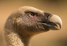 Portrait of Griffon vulture Royalty Free Stock Images