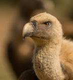 Portrait of a Griffon vulture Royalty Free Stock Photography