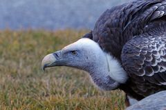 Portrait of a griffon vulture (Gyps fulvus) Stock Photography