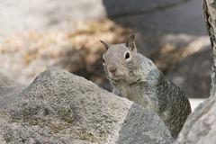 Portrait gris d'écureuil Photographie stock
