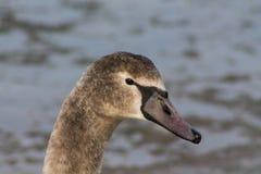 Portrait gris d'oiseau de cygne Photographie stock