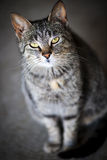 Portrait gris de chat Photographie stock