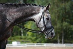 Portrait gris de cheval de sport Photographie stock libre de droits