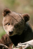 Portrait of Grizzly bear cub Royalty Free Stock Images