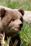 Portrait of Grizzly bear cub Stock Photos