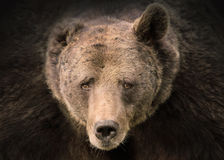Portrait of Grizzly bear Royalty Free Stock Images
