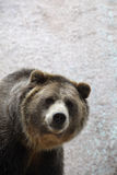 Portrait of Grizzly Bear Royalty Free Stock Image