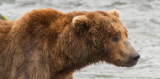 Portrait of a Grizzly Bear at Katmai National Park, Alaska Royalty Free Stock Images