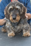 Portrait of the groomed Dachshund wire haired Stock Image