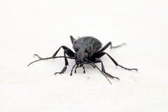 Portrait of ground beetles Carabus cancellatus. Alive, ground beetles grid Carabus cancellatus at the tissue background royalty free stock image