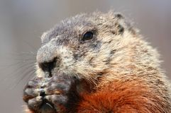 Portrait of ground hog Royalty Free Stock Image