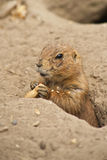Portrait of a ground squirrel royalty free stock photos