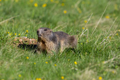 Portrait of groundhog Marmota monax in grassland. With yellow flowers royalty free stock photography