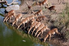 Portrait of a group of Impalas Stock Images