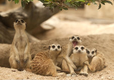 Portrait group of meerkat. Sit on sand with nature frame Stock Image