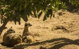 Portrait group of meerkat on sand with nature frame. Portrait group of meerkat or suricata sit on sand with nature frame Stock Photo