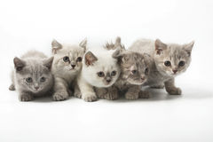 Portrait group of young Scottish cats . Studio shot. Isolated. stock photos