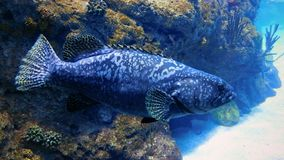 Portrait of a Grouper Fish royalty free stock image