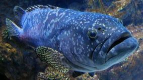 A Portrait of a Grouper Fish stock photo