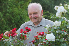 Portrait of grower of roses. Portrait of old man - grower of roses next to rose bush in his beautiful garden Stock Photos