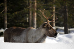 Reindeer / Rangifer tarandus in winter Stock Photo