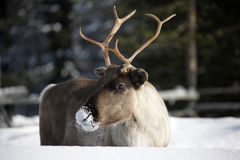Reindeer / Rangifer tarandus in winter Royalty Free Stock Photography