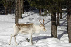 Reindeer / Rangifer tarandus in winter forest Royalty Free Stock Photos