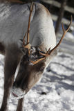 Close up of a Reindeer / Rangifer tarandus in winter Stock Image