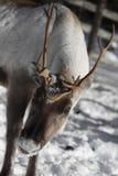 Close up of a Reindeer / Rangifer tarandus in winter Stock Image