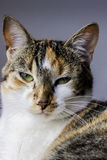 Portrait Of A Grumpy Cat. A Dutch cat who did not seem to like portrait photographers stock photography