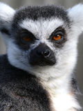 Portrait of a grumpy Ring-tailed Lemur Royalty Free Stock Photography