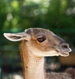 Portrait of guanaco Royalty Free Stock Images