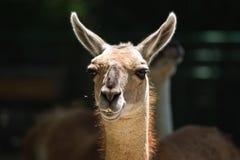 Portrait of guanaco Stock Images