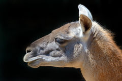 Portrait of a Guanaco Royalty Free Stock Photo