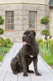 Portrait of guard dog Royalty Free Stock Image