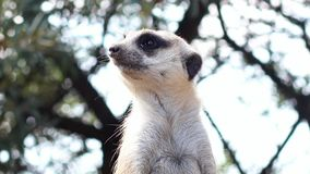 Portrait of guarding meerkat stock footage