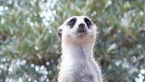 Portrait of guarding meerkat stock footage