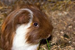Portrait of a guinea pic Cavia porcellus. Royalty Free Stock Images