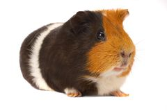 Portrait of a Guinea-pig Stock Photos