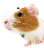 Portrait of guinea pig Stock Photography